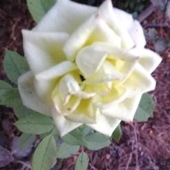ורד פורח