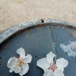 פרחי משמש
