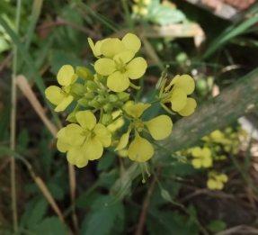 White Mustard  Common