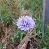 חסה כחולת פרחים- פרח בר רב שנתי הדומה לעולש