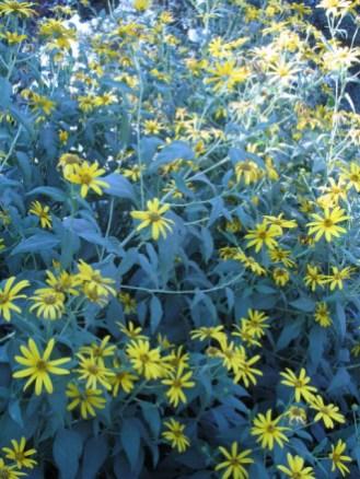 חמנית הפקעות- ידועה בתור ארטישוק ירושלמי,וגם טופינמבור. צמח מהמורכבית, המגדל פקעותעל השורשים לצורך ריבוי