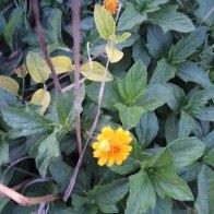 ודליה- צמח נוי משתרע מהמורכבים