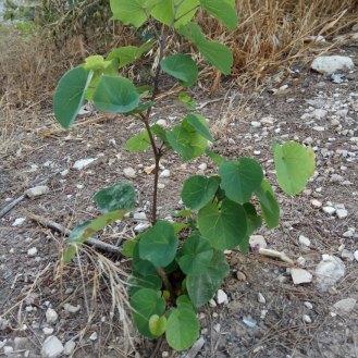 כליל החורש, עץ צעיר שנבט מעצמו