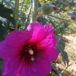 פרח חוטמית, וניצן