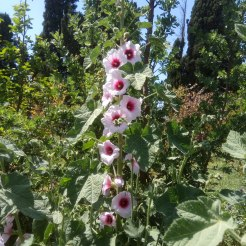 חוטמית- בפריחה