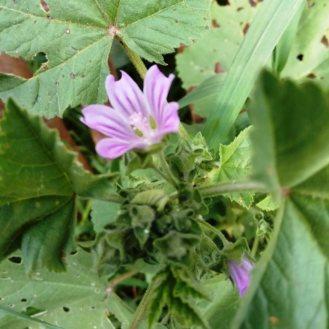 חלמית גדולה- צמח בר פריחה וראשית פרי ניתן לאכול עלים, פרחים, פירות, וגבעולים צעירים. חי ומבושל