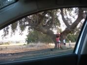 Quercus ithaburensis /  Mt. Tabor Oak