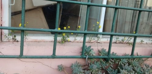 סביונים צומחים בחריץ באדן חלון