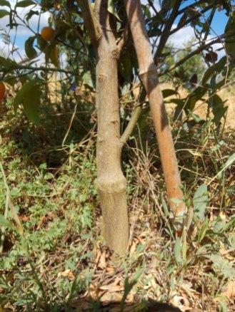 מיקום ההרכבה על עץ תפוז סיני צעיר, נראה ברור לעיין. החלק התחתון בגזע שייך לכנה והעליון לרוכב
