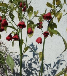 Plants of red pepper