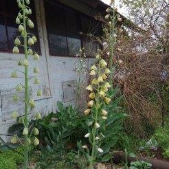 גביעונית הלבנון- פריחה (צמח בר מוגן. גידול עצמי. מזרעים)