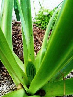 בן חצב יקינטוני - תפרחת בתחילת צמיחה
