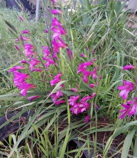 Common Gladiolus