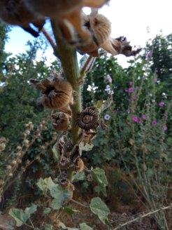 זרעי חוטמית, יבשים