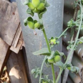לשון הכלב- זרעים לפני הבשלה