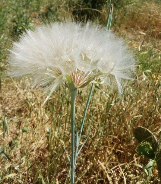 זרעים מוכנים להפצה ברוח- זקן התיש