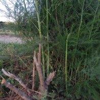 אספרגוס גבעול צעיר וגבעולים בוגרים באותו צמח. 16.8.19
