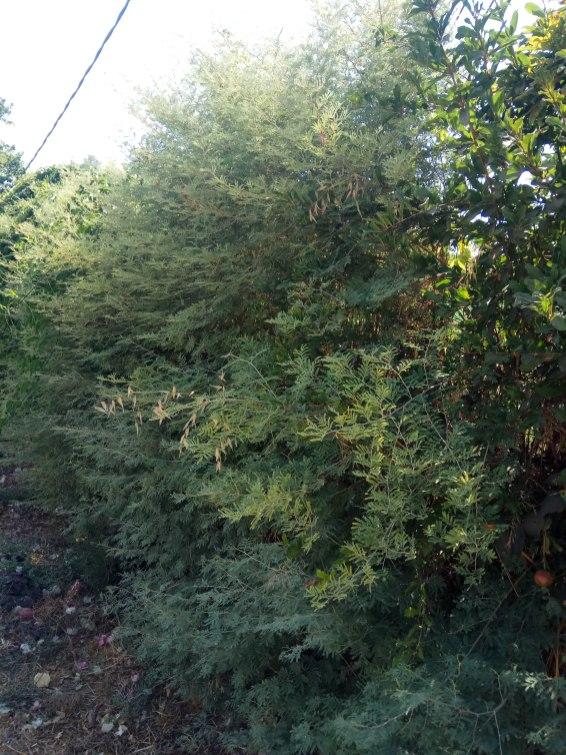 צמחי ינבוט עלו לגובה והשתלבו בגדר חיה גבוהה