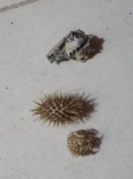 seeds with thorny bumps