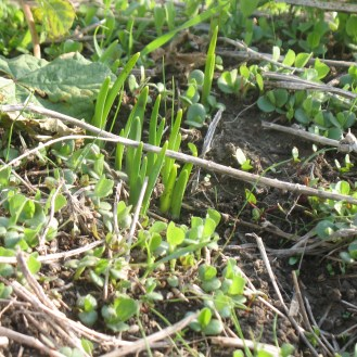 מקבץ נרקיסים מתעורר בין נבטי צמחי בר