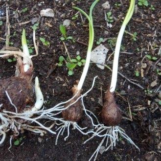 בצלי נרקיס בגדלים שונים מתעוררים מהתרדמה, משמאל הבצל לקראת חלוקה והצמחת בצלים נוספים