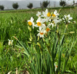 Common Narcissus plants flowering