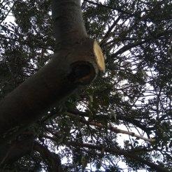 חיתוך ענף להגבהת נוף- אלת מסטיק
