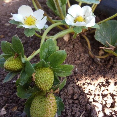 פרחים ופרי בוסר- תות שדה