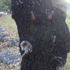 גיזום לא נכון- השארת זיזי ענפים