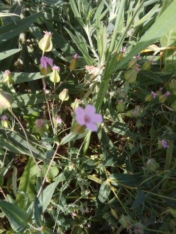 סבונית השדה Vaccaria hispanica