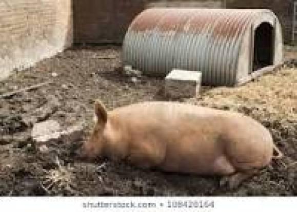 Image result for pigsty