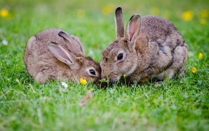 Kerry: plaga królików wykopuje groby na cmentarzu [WIDEO]