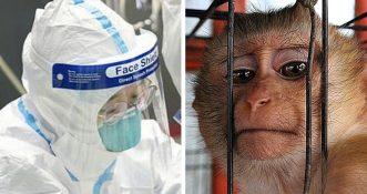 Tysiące małp laboratoryjnych zarażonych koronawirusem w desperackiej próbie znalezienia szczepionki.