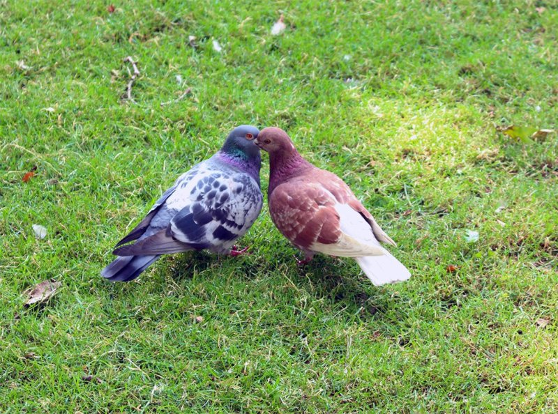 Kissing pigeons | 1 Day in London Walking Itinerary