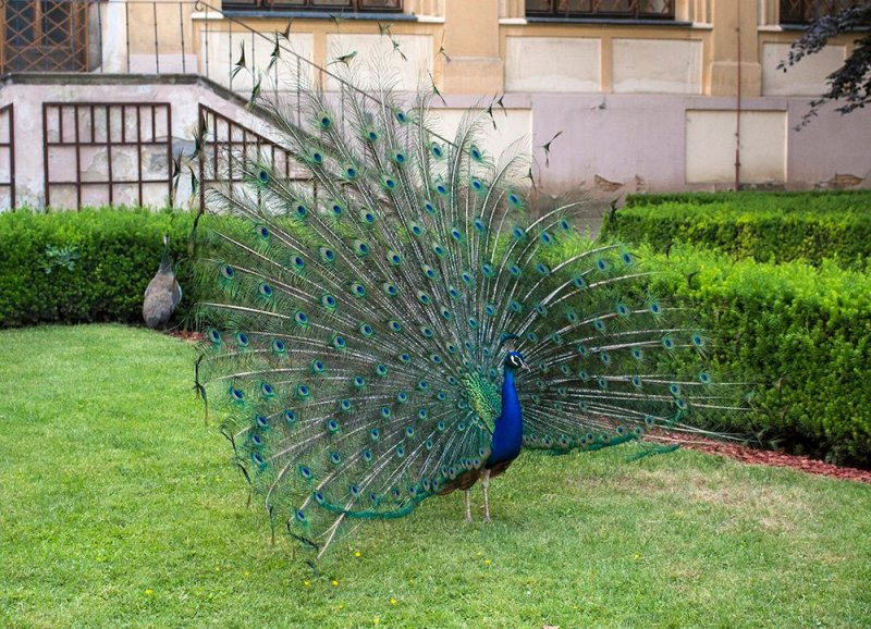 What to do in Prague for free | Peacocks in Vojanovy Sady