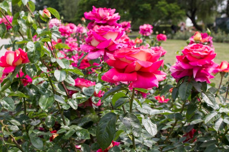 What to do in Prague for free | Roses on Petrin Hill