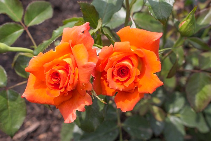 Things to do in Olomouc, Czech Republic, in half a day | roses in the rosarium