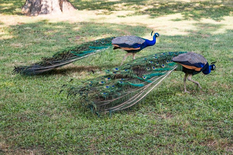 Czech Republic: Visiting Kromeriz Castle and Gardens from Brno | Peacocks in the chateau gardens