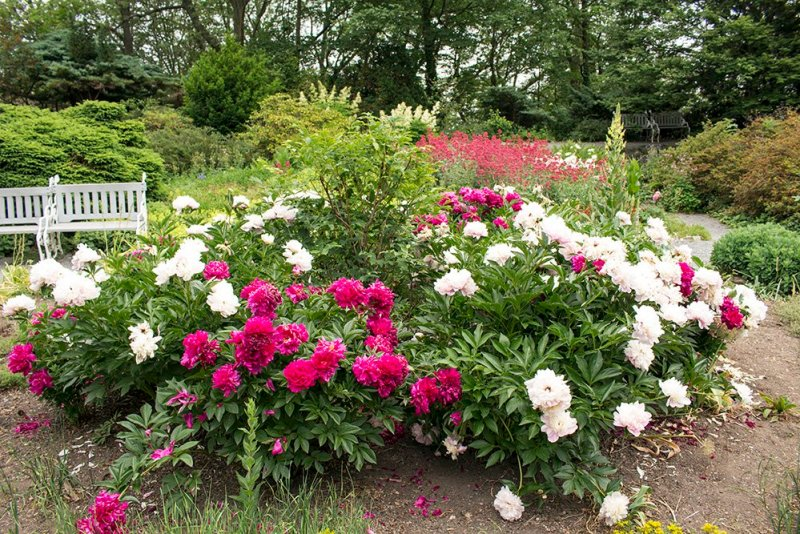 Peonies on Petrin Hill in Prague