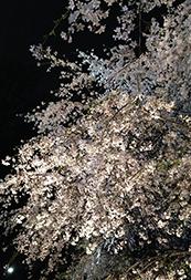 六義園「しだれ桜と大名庭園のライトアップ」の幻想的な夜桜をご紹介!