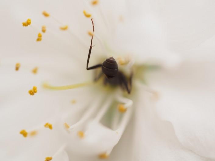 花桃とアリ