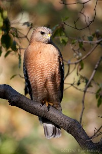 a hawk perched in a tree