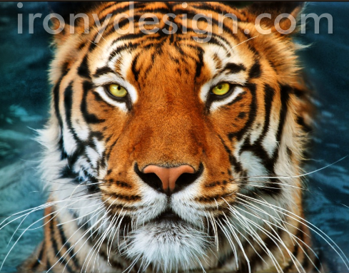 A Tiger's Close up Face Photo Products.  A bright vivid colored tiger's close-up face photograph in blue water. Fully customizable.