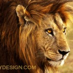 The Noble Lion Photo Gift Products