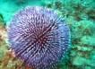 Sphaerechinus granularis_BCB