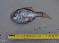 Hoplostethus_mediterraneus_JGF_01