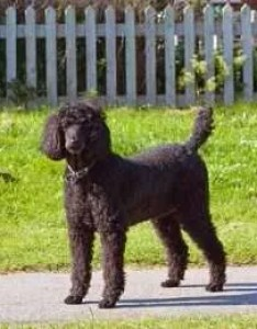 Standard sized poodle years old also age equivilancy and chart rh allpoodleinfo