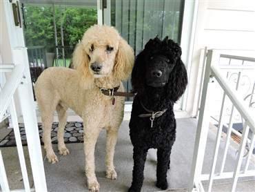 cute toy poodle big black nose