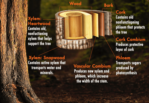 small resolution of tree trunk stem diagram