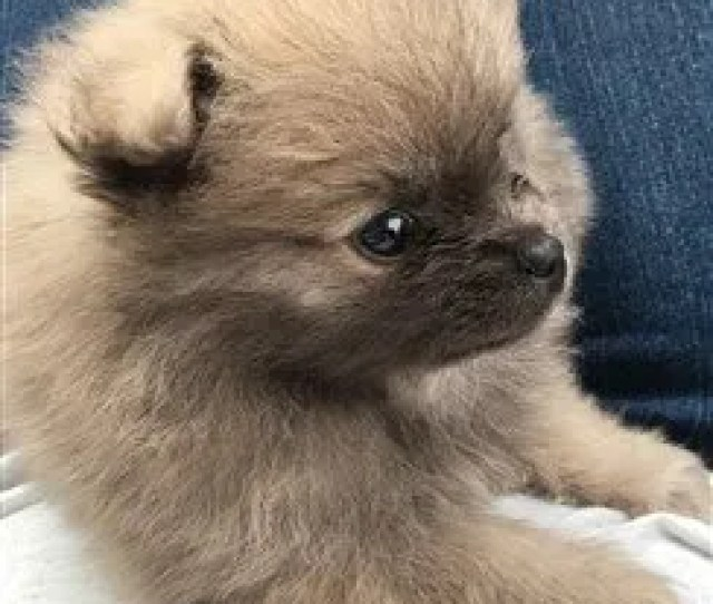 Week Old Pomeranian Puppy Sable